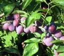 Pflaumen und Zwetschen - späte Früchte des Jahres