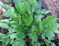 Der Sauerampfer - Vitamin C Spender im Frühling