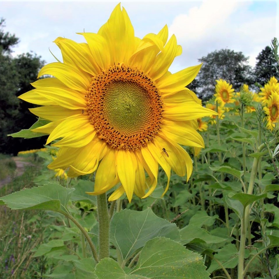 Sonnenblumen und ihre Kerne